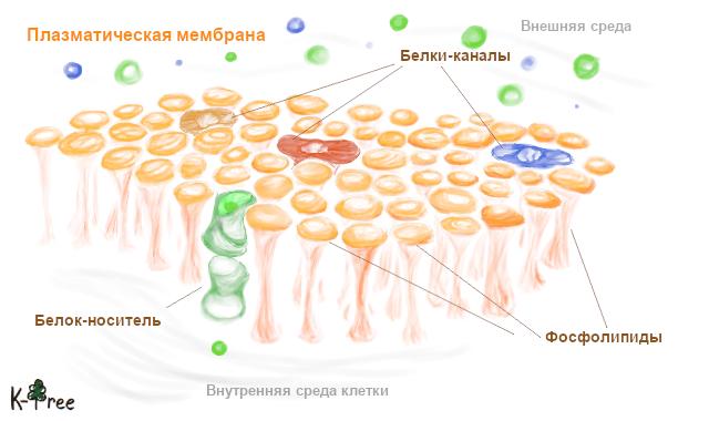 жидкостно-мозаичная модель плазматической мембраны